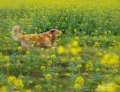 pets playing with flowers | Pet dogs happy playing in rapeseed flower field (08) | funny and cute ...