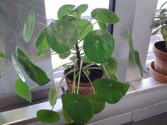 pilea peperomioides of pannenkoekenplantje