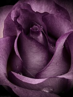 The purple of my passion ~ spreads its petals ~ to drink of your watery gems ~ Dorianna (I would love to have one of these in my rose garden)