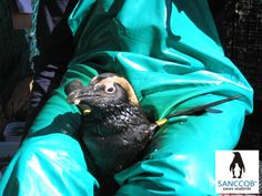 Oiled African Penguin at SANCCOB