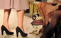 Pug in a fashion show! #MariaGrachvogel #spring #summer #2012collection