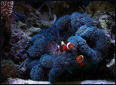 Blue carpet anemone with 2 clowns hosting