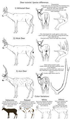 Basic_Deer_Species_tutorial_by_creepygoth666.jpg (683×1171)