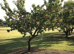 Prunus, Plantation, Shrubs, Golf Courses, Home And Garden, Flowers, Gardening, Europe, Inspiration