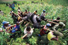 Gorilla in the Congo by Brent Stirton