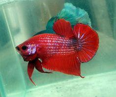 AquaBid.com - Item # fwbettashmp1414728007 - White Face - Red Tiger OHMPK Male - Ends: Thu Oct 30 2014 - 11:00:07 PM CDT