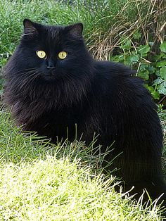Intruder | Flickr - Photo Sharing! Fluffy black cat.  Looks a lot like my Boo.