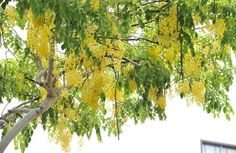 Blossom season in Singapore: Golden Shower (Cassia fistula). http://www.straitstimes.com Photo: Lim Yaohui for The Straits Times