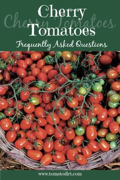 Cherry Tomatoes FAQs with Tomato Dirt #homegardening #growingtomatoes Types Of Tomatoes, Yellow Tomatoes, Growing Tomatoes In Containers, Freezing Cherry Tomatoes, Health Benefits Of Cherries, Determinate Tomatoes, Natural Ecosystem, Frozen Cherries, Tomato Seeds