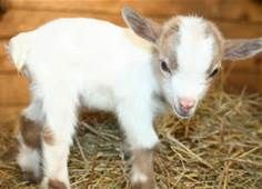 a wee baby goat! /\ /\                               u