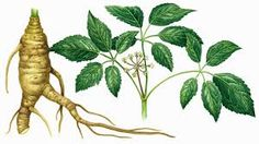 Ginseng:has been used to treat a variety of health problems,•Reducing mental stress and anxiety •Increasing mental clarity and alertness •Stimulating the immune and nervous system •Treating diabetes •Preventing the growth of certain types of cancer cells •Lowering cholesterol levels •Improving digestion •Reducing fatigue.  While ginseng is a non-toxic herb, excessive and prolonged use of Ginseng can cause insomnia and hypertension.
