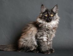 All that fur! Smokey Imp, Norwegian Forest cat. Probably the coolest cat I've ever seen - looks like a wolf!