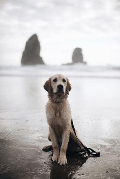 a-hound-dog:   Rio, golden retriever puppy. Cannon Beach, Oregon.