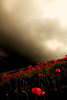 Poppies and stormy sky