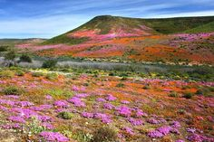 Wildflowers In Bloom, Namaqualand, South Africa. Stock Image - Image of daisies, colour: 21228745 Flowers Nature, Wild Flowers, Beautiful Landscapes, Beautiful Scenery, Cover Photos, West Coast, South Africa, National Parks, Australia