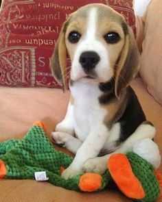 LOOK AT THOSE ADORABLE BEAGLE EYES! <3