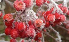 Ilmainen kuva Pixabayssa - Rowanberries, Frost, Jäädytetyt