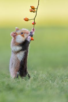 A young, wild living European hamster (Cricetus cricetus/Feldhamster) going for rose hips. Wild Hamsters, Funny Hamsters, Dwarf Hamsters, Baby Animals, Funny Animals, Cute Animals, Habitat Du Hamster, Baby Hamster, Hamster Names