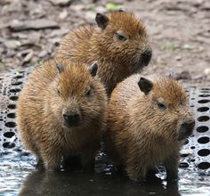 Baby Capybara | Baby capybaras | Flickr - Photo Sharing!
