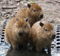 Baby Capybara | Baby capybaras | Flickr - Photo Sharing!