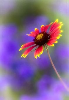 #Flowers | #flower | #Gaillardia, the blanket flowers, is a genus of flowering plants in the sunflower family, Asteraceae, native to North and South America