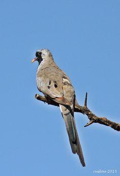 Namaqua Dove   by ruslou