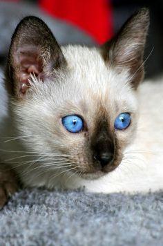 Pretty blue eyed Siamese cat named Cocoa Bean.