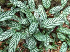 A maranta-cinza é uma folhagem ornamental, herbácea e rizomatosa, com altura entre 30 a 60 centímetros. Suas folhas são elípticas, alongadas e sustentadas por longos pecíolos pilosos que des...