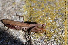 Mantis religiosa preñada
