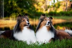 Shetland Sheepdogs or Shelties as they are more widely known. I can say they are the best breed of dog I have ever had. Smart, loyal, loving and your best friend for life!