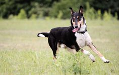 Adrenalin Lerbynn alias Rufus (smooth collie)