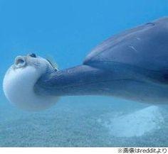 体膨らませたフグにイルカが…   Narinari.com