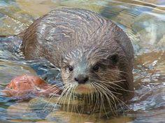 Otter, Western Plains Zoo, N.S.W., Australia