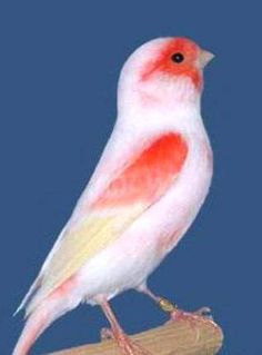 Canary bird -- The domestic canary, often simply known as the canary, is a domesticated form of the wild canary, a small songbird in the finch family originating from the Macaronesian Islands. Canaries were first bred in captivity in the 17th century.