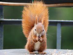 Eichhörnchen, Eichkater, Tierwelt, Säugetier, Natur