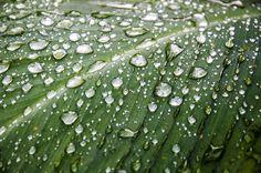 커다란 나뭇잎 위로 떨어진 빗방울들...서로크기가 다르지만 옹기종기 사이좋게 모여있네요. 작은 놈은 작아서 큰 놈은 커서 귀엽네요. 하지만 아무래도 조금이라도 커지게 되면 굴러 떨어지겠죠? 나이도 그렇죠...갑자기 왠 나이로...ㅎㅎ
