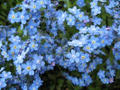 Forget Me Not, Happy Things, Pretty Flowers, Garden Plants, Parks, Blues, Footwear, Gardens, Colors