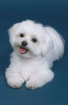 Cute Puppies, Cute Dogs, Dogs And Puppies, Doggies, Cute Baby Animals, Animals And Pets, Coton De Tulear, Maltese Dogs, Teacup Maltese