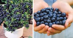 Stop buying blueberries. Use these clever methods to get a never-ending supply