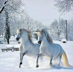 What gorgeous horses in the snow! White horses in the snow are so beautiful. Most Beautiful Horses, Pretty Horses, Horse Love, Beautiful Couple, Horse Pictures, Animal Pictures, Beautiful Creatures, Animals Beautiful, Ours Grizzly