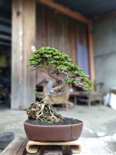 The mysterious but yet at the same time so beautiful Bonsai. The mysterious but yet at the same time Bonsai Tree Care, Bonsai Tree Types, Indoor Bonsai Tree, Mini Bonsai, Indoor Plants, Bonsai Forest, Bonsai Garden, Ficus, Container Plants