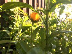 Bokashivæske er effektivt middel mot plantelus i økologisk hagebruk. Med bokashi kjøkken-kompost får du bokashivæske – til gjødsling og bekjempelse av lus.