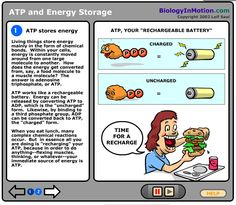 Biology in Motion- ATP and Energy Storage- this would be a nice quick activity that you could do as a class over a projector. Interactive drag and drop ATP. Biology Classroom, Biology Teacher, Teaching Biology, High School Biology, Middle School Science, Science Curriculum, Life Science, Science Labs, Atp Biology
