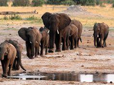 """""""O Grito do Bicho"""": População de elefantes na África cai devido à caça..."""