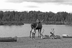 Elk & Moose