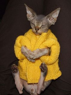 Sphynx cat is a special breed of cats that constantly need warmth. I present to you 15 warm clothes for Sphynx cats. Kittens Cutest, Cats And Kittens, Cute Cats, Funny Cats, Big Cats, Spinx Cat, Cute Hairless Cat, Cute Baby Animals, Funny Animals