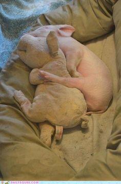 Piggy cuddling with his piggy