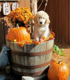 I think this is the best fall picture I've seen so far. A Golden Retriever puppy in a barrel with a pumpkin, flowers, and leaves. Cute Puppies, Dogs And Puppies, Cute Dogs, Doggies, Funny Dogs, I Love Dogs, Puppy Love, Happy Fall, Dog Cat