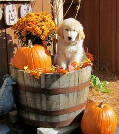 #Golden #Retriever #Puppy with #Pumpkins