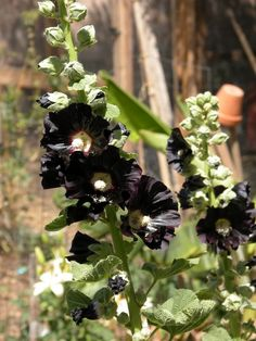 I just planted some of these with dinnerplate dahlia hope they grow like crazy~ CH ~ Black hollyhock, one of the beautiful varieties of the genus.